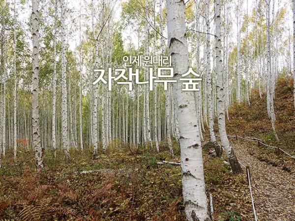 자작나무숲.jpg